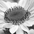 Sunflower Bloom Black And White by James BO  Insogna