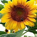 Sunflower by Brian  Seidenfrau