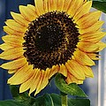 Sunflower by Bruce Bley