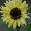 Sunflower by Carol  Eliassen
