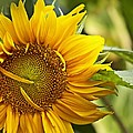 Sunflower by Christy Leigh