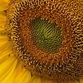Sunflower Closeup by Alan Hutchins