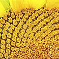 Sunflower Closeup by Gordon Wood