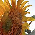 Sunflower Closeup by Wilton Brown