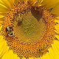 Sunflower by David  Brown