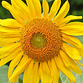 Sunflower Days by Ann Murphy