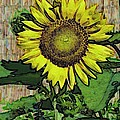 Sunflower Face by Alec Drake