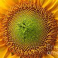 Sunflower Fantasy by Benanne Stiens