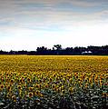 Sunflower Farm In North Dakota by Ed Golden