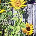 Sunflower Fence by Steve McKinzie