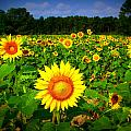 Sunflower Field by Melessia  Todd