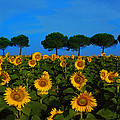 Sunflower Field by Susan Rovira