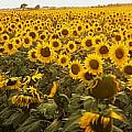 Sunflower Field by The Irish Image Collection