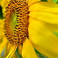 Sunflower  by Floyd Menezes