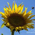 Sunflower For Snack by Darleen Stry