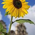 Sunflower In Balboa Park by Daniel  Knighton