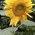 Sunflower by Karen Chromy