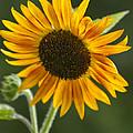 Sunflower by Kathy Clark