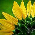 Sunflower by Larry Carr