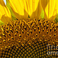 Sunflower Macro by Darleen Stry