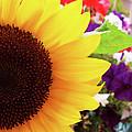 Sunflower Macro by Jack Schultz