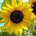 Sunflower Medley by Sara  Raber
