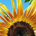 Sunflower Meets Sky by Shawn Johnson