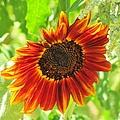 Sunflower by Michelle Cassella