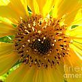 Sunflower No.10 by Christine Belt