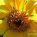 Sunflower No.15 by Christine Belt