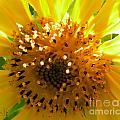 Sunflower No.16 by Christine Belt