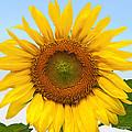 Sunflower On Blue by Regina Geoghan