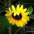 Sunflower One by Ms Judi