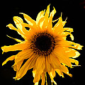 Sunflower by Patrick Galvin