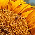 Sunflower by Richard Balison