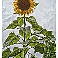 Sunflower by Richard Bean