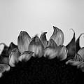 Sunflower Rising #1 by Tim Nault