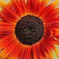 Sunflower by Ryszard Unton