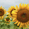 Sunflower Season by Regina Geoghan