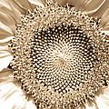 Sunflower Seeds by Trish Tritz