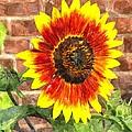 Sunflower Sfwc by Jim Brage