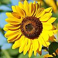 Sunflower Small File by Joe Faherty