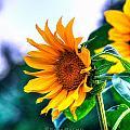 Sunflower Smile by Sarai Rachel