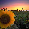 Sunflower Smoothie by Randall Branham