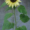 Sunflower Stalk  by Carol  Eliassen