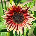 Sunflower by Steve McKinzie