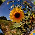 Sunflower Through A Glass Eye by Robert Woodward
