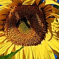 Sunflower Up Close by Eric Tressler