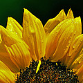 Sunflower With Drops by Mary Anne Williams