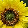 Sunflower With Insect by Daniel Reed